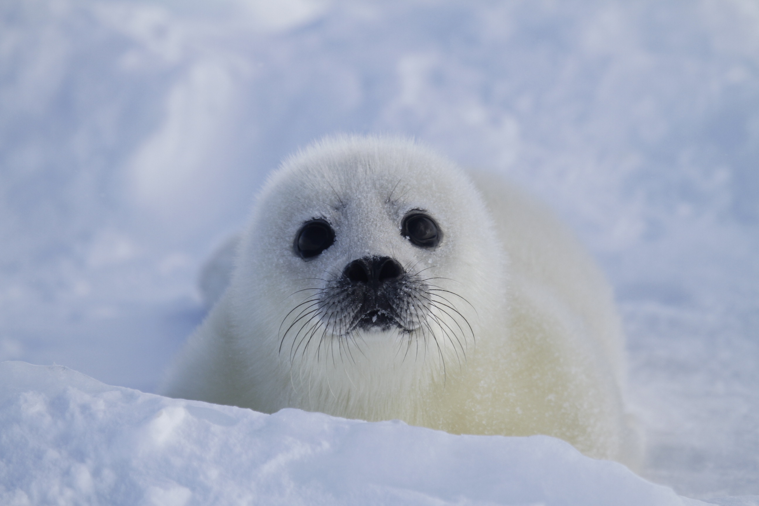related pictures seal arctic - photo #25
