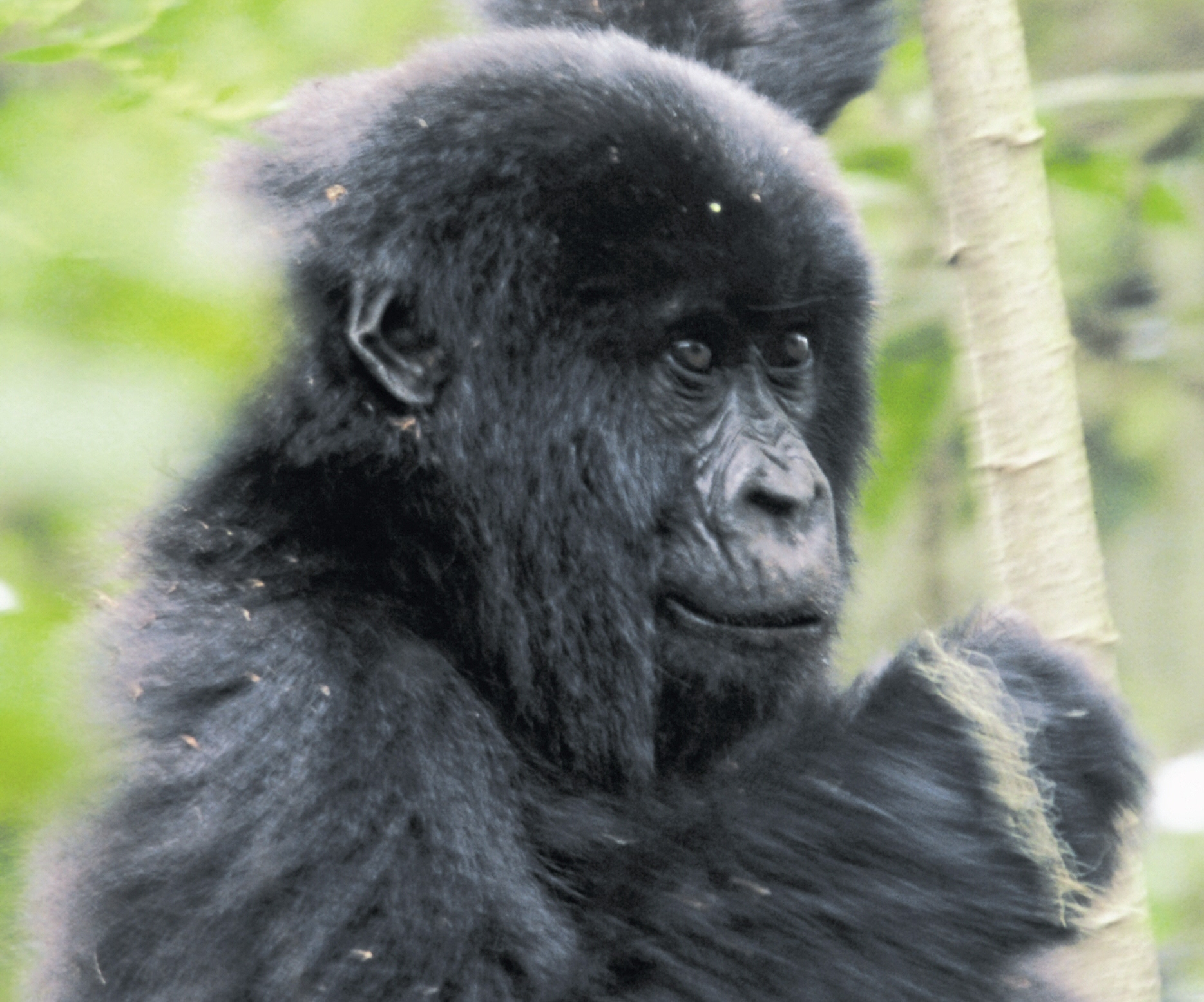 Game Parks & Gorillas with Acacia Africa
